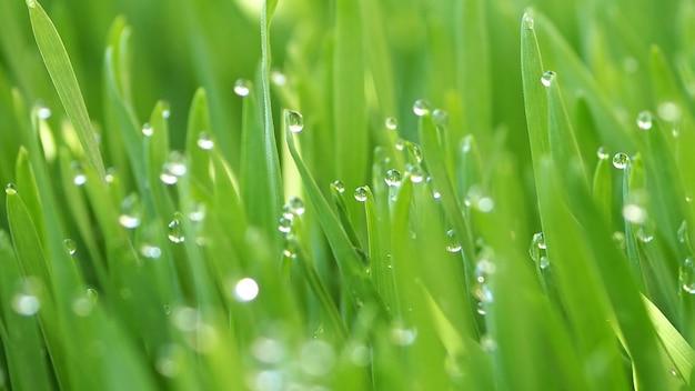 Schließen sie herauf süßwassertröpfchen auf einem grünen wheatgrass