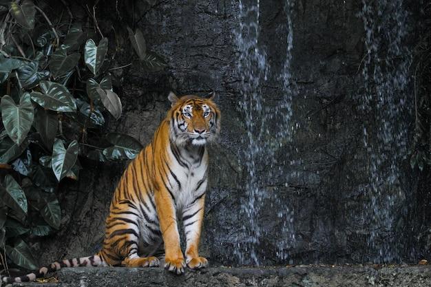 Schließen sie herauf tigersitz vor dem wasserfall