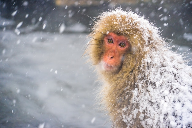 Schließen sie herauf und porträt des einsamen gefühls des schneeaffen (japanische macaques), während schneefall fällt