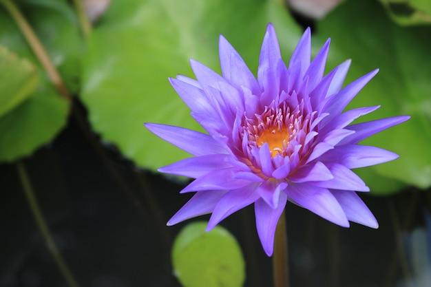 Schließen sie herauf violetten lotos