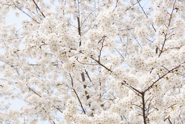 Schließen sie herauf weiße kirschblüte-blumenblüte auf dem baum im frühjahr saisonal