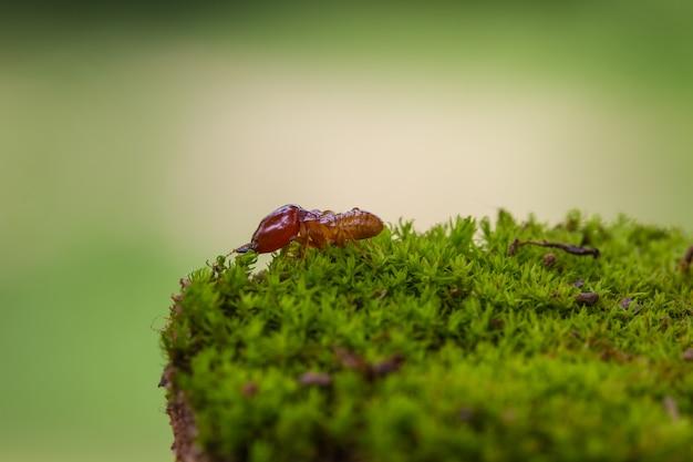 Schließen sie herauf zerstörte termiten oder weiße ameisen