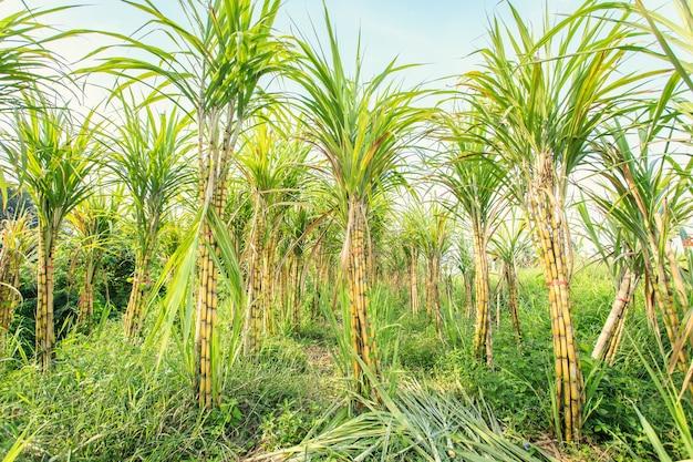Schließen sie herauf zuckerrohr in der plantage in thailand