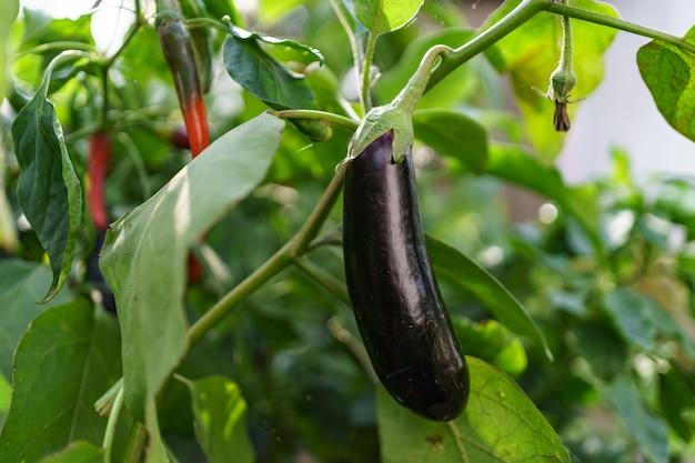 Schließen sie nahe bio-auberginen im garten.