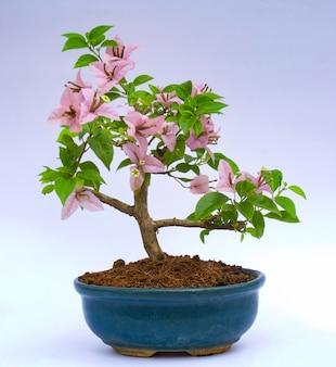 Schließen sie oben auf blütenbonsai im keramiktopf