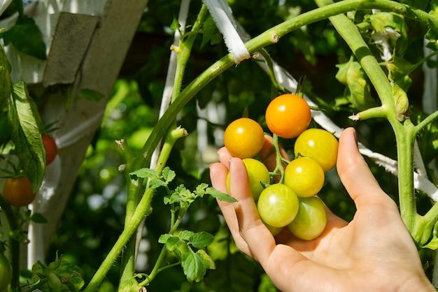 Schließen sie oben auf frischen gelben reifen tomaten auf zweig