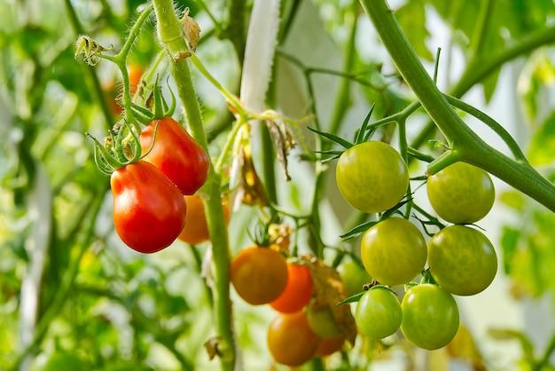 Schließen sie oben auf frischen roten reifen tomaten auf zweig