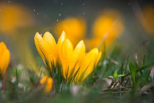 Schließen sie oben auf gelbem krokus mit wassertropfen und regen