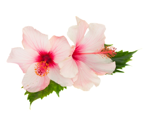 Schließen sie oben auf rosa hibiskusblüten mit blättern lokalisiert
