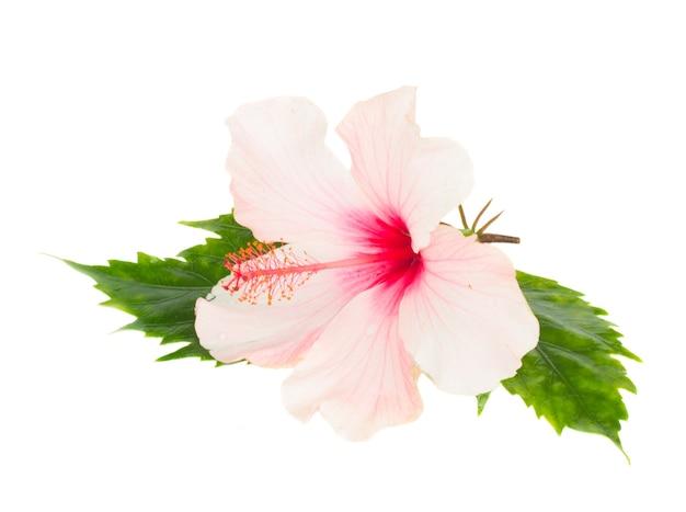Schließen sie oben auf rosa hibiskusblume mit blättern lokalisiert