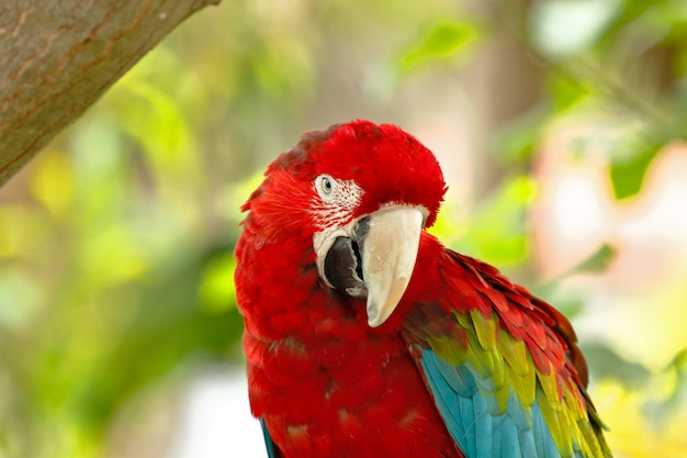 Schließen sie oben auf rotem ara porträt in der natur