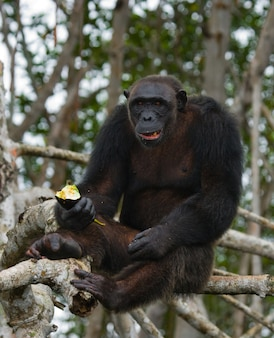 Schließen sie oben auf schimpanse, der obst isst