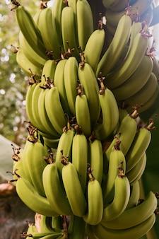 Schließen sie oben bananen auf dem baum