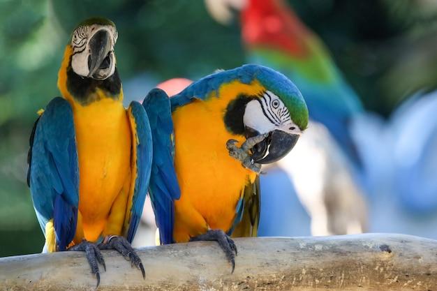 Schließen sie oben den blauen und gelben ara-papageienvogel im garten