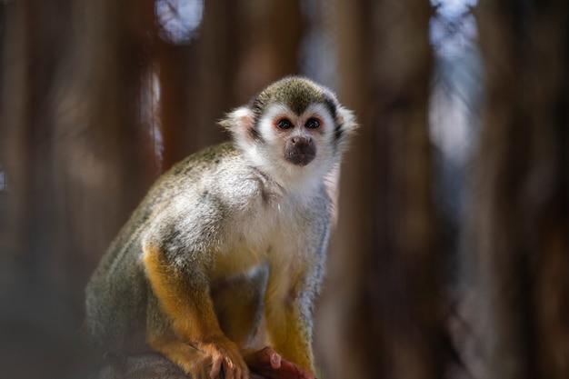Schließen sie oben eichhörnchenaffe im zoo