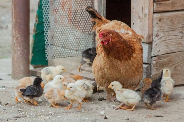 Schließen sie oben gelbe küken auf dem boden, schöne gelbe kleine hühner, gruppe der gelben küken
