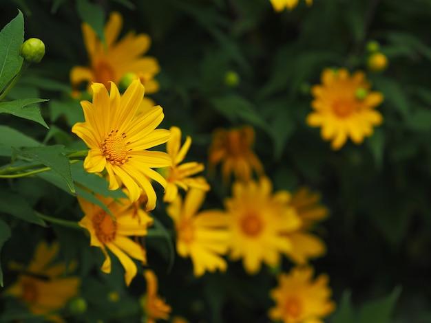 Schließen sie oben gelbe ringelblume oder maxican sunflower und grüne blätter. blumiger hintergrund.