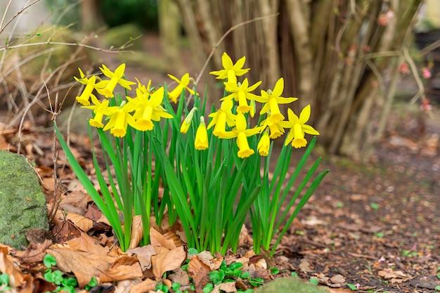 Schließen sie oben gelben und weißen narzissenblumen frühling