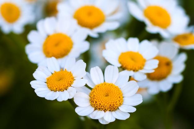 Schließen sie oben kleine weiße gänseblümchenblumen