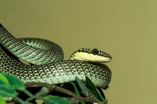 Schließen sie oben kopf chrysopelea ornata schlange oder grüne schlange bei thailand