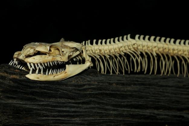 Schließen sie oben kopfknochenschlange für musterknochenschlange auf schwarz