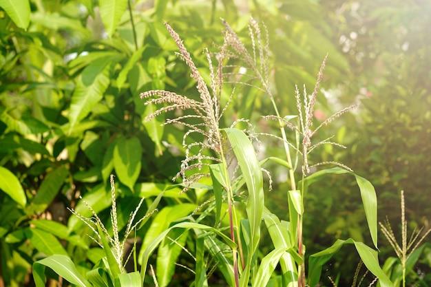 Schließen sie oben kornblume am maisfeld mit sonnenlicht