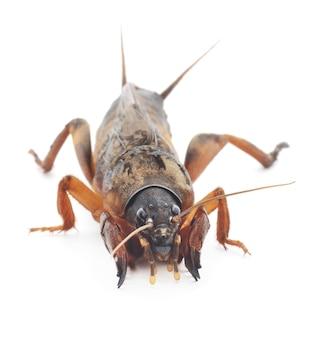 Schließen sie oben maulwurf cricket im studio
