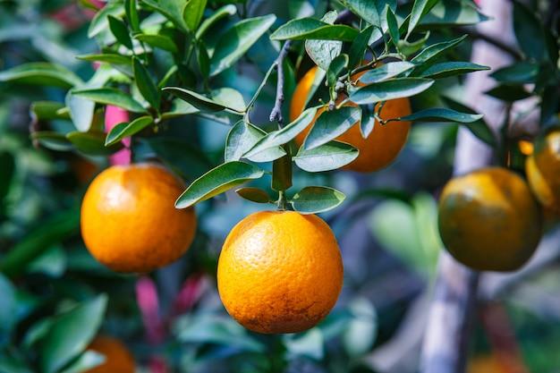 Schließen sie oben reife orangenfrucht, die auf baum im orangenplantagengarten, chiangmai, thailand hängt