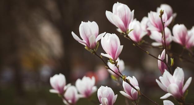 Schließen sie oben rosa magnolienzweig
