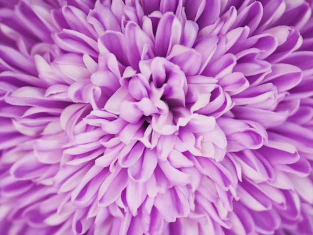 Schließen sie oben violette chrysanthemenblume. lila flora muster für frühling hintergrund