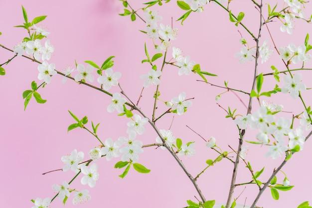 Schließen sie oben vom blühenden rosa hintergrund der blühenden weißen kirsche