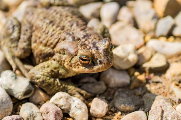 Schließen sie oben vom europäischen gemeinem frosch (rana temporaria) sitzend auf steinen