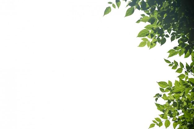 Schließen sie oben vom naturansicht-grünblatt auf lokalisiertem weiß.