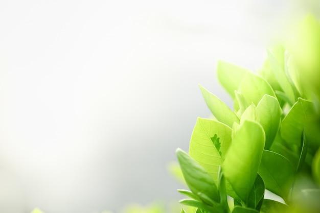 Schließen sie oben vom naturansicht-grünblatt auf unscharfem grünhintergrund unter sonnenlicht mit bokeh und copyspace