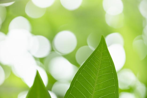 Schließen sie oben vom naturansicht-grünblatt auf unscharfem grünhintergrund unter sonnenlicht mit bokeh.