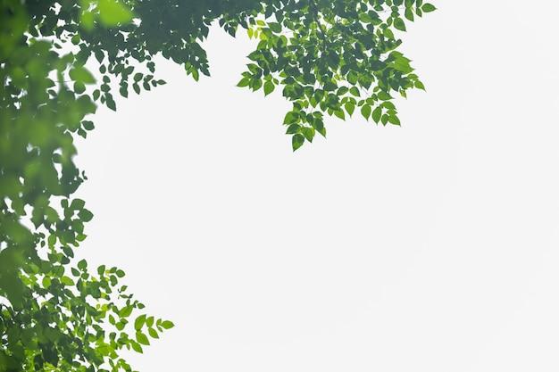 Schließen sie oben vom naturgrünblatt mit dem unscharfen grün auf lokalisiertem weiß.