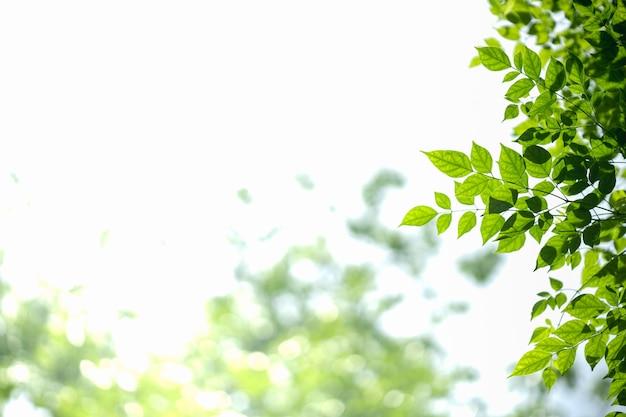 Schließen sie oben vom naturgrünblatt mit dem unscharfen grün auf weißem himmel.