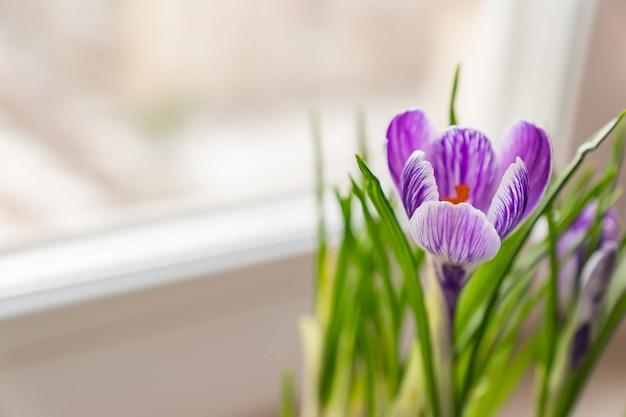 Schließen sie oben vom purpurroten krokus in der blüte auf fensterbrett. frühlingsblumen, heimische gartenarbeit