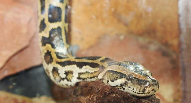 Schließen sie oben vom pythonschlangenkopf