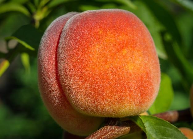 Schließen sie oben vom reifen fruchtpfirsich