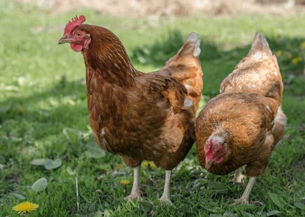 Schließen sie oben vom roten huhn auf einem bauernhof in der natur. hühner in einer freiwurffarm. hühner gehen in den hof der farm. das konzept des ländlichen lebens. landwirtschaft. landleben