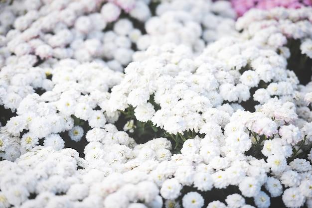 Schließen sie oben vom schönen beschaffenheitshintergrund der weißen chrysantheme der bündelblume / blüht chrysantheme blühende dekorationsfestivalfeier