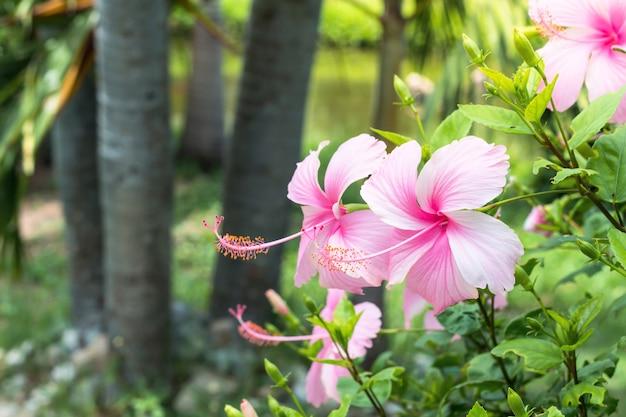 Schließen sie oben vom schönen hibiscus, chaba-blume, wenn sie im garten blühen