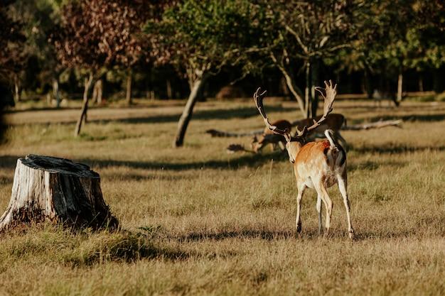 Schließen sie oben vom schönen jungen hirsch im naturpark von migliarino san rossore massaciuccoli, italien