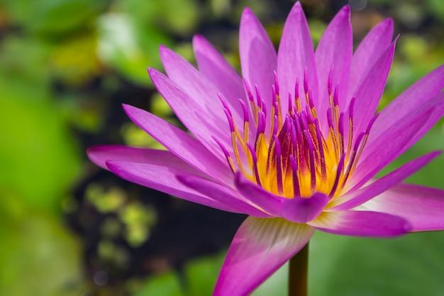 Schließen sie oben vom schönen rosa lotos auf grünem hintergrund