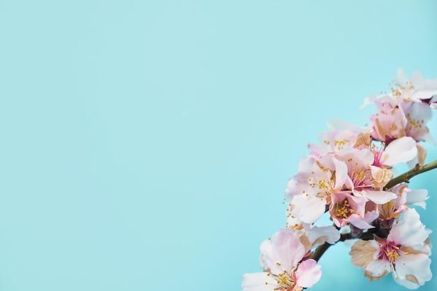 Schließen sie oben vom weißen kirschblütenbaum des frühlings auf pastellblauer oberfläche