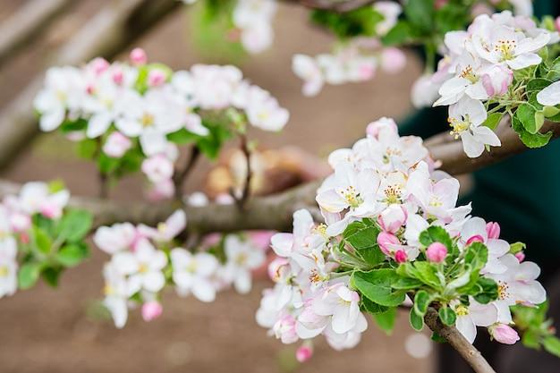 Schließen sie oben von blühenden knospen des apfelbaums im garten. blühender apfelgarten im frühlingssonnenuntergang.