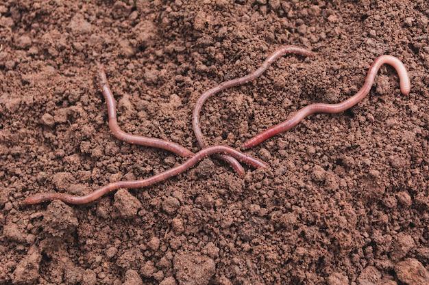 Schließen sie oben von den erdwürmern in der gesunden erde.