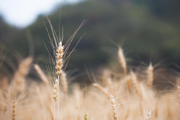 Schließen sie oben von den goldenen reifen gerstenpflanzen auf dem gerstengebiet