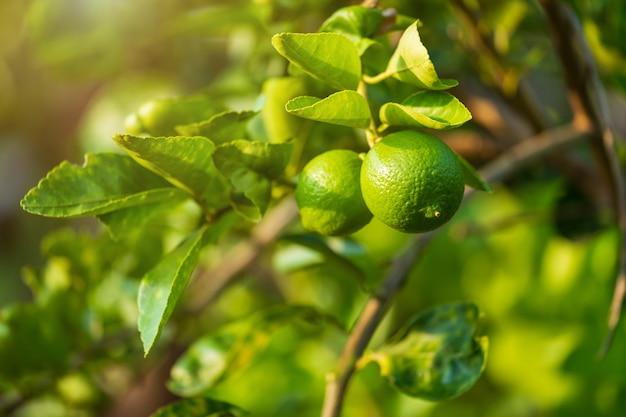 Schließen sie oben von den grünen zitronen, die auf dem zitronenbaum in einer gartenzitrusfrucht thailand wachsen.